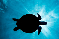 Turtle Watching in St Lucia